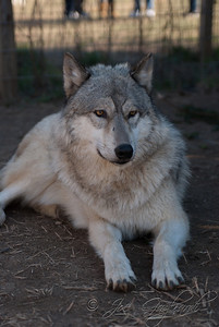 20120107-Wolves-024-26