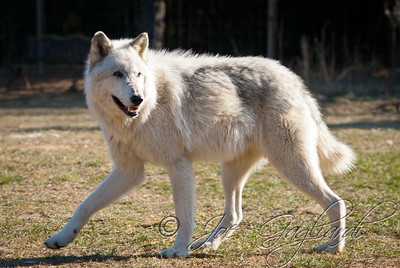 20120107-Wolves-024-8