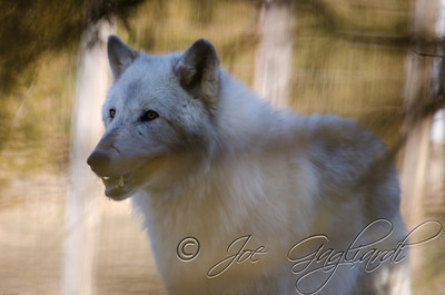 20120107-Wolves-023-111