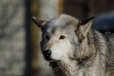 20120107-Wolves-023-87