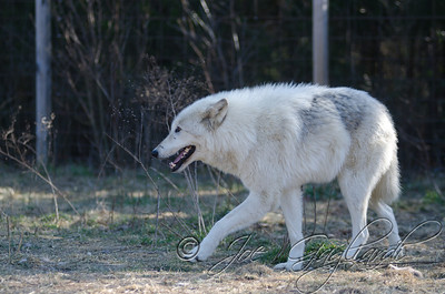 20120107-Wolves-023-14