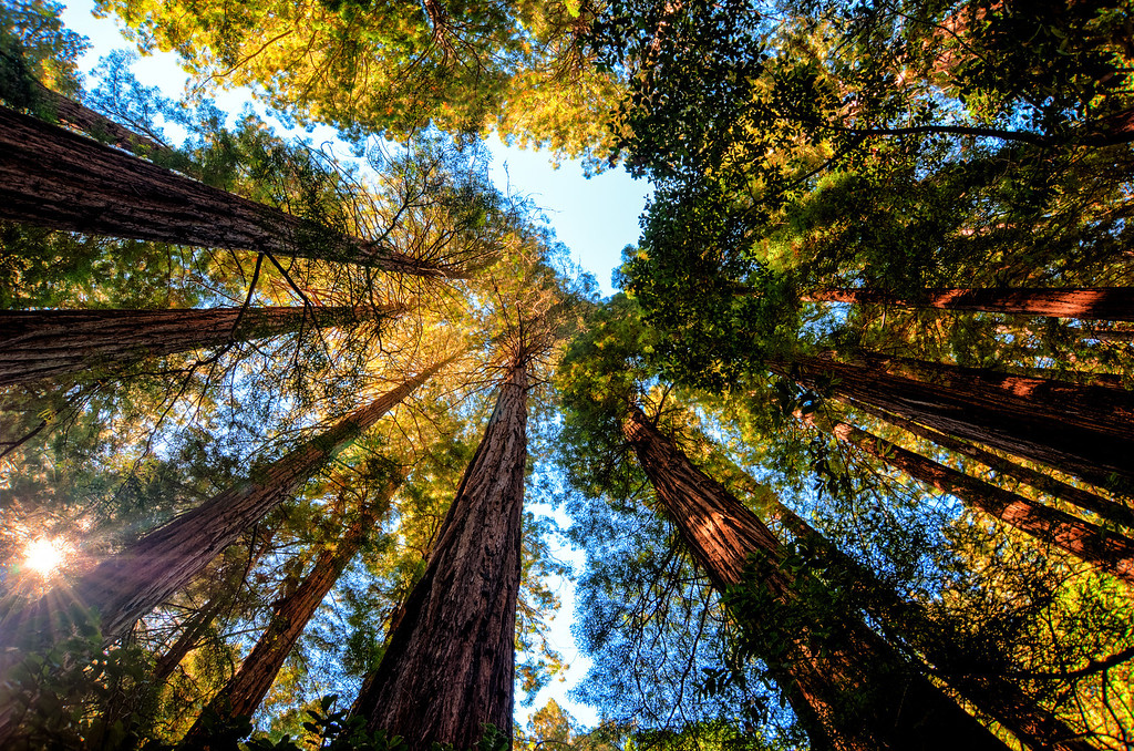Reaching for the Sky in Muir Woods