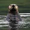 Katmai Alaska -  the curious one