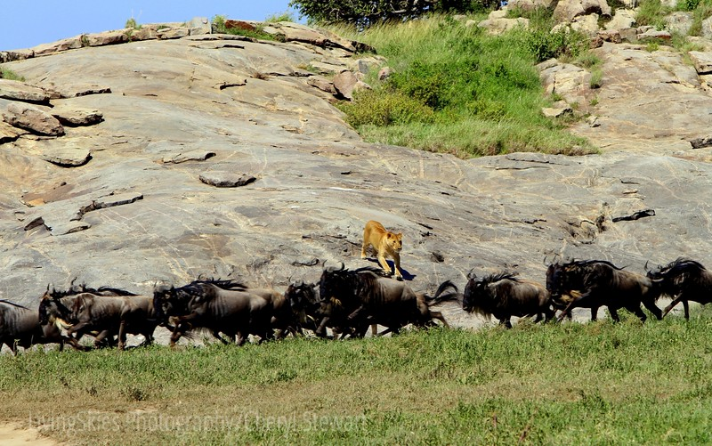 The Chase<br /> - this young lioness takes off after a group of wildebeast as they approach the watering hole