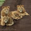 Three bachelor lions