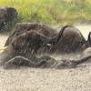 This group of elephants moved into the water to play during a rainshower, then as soon as the rain stopped they came out and moved on.