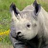 Rhino, Ngorongoro crater