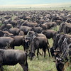 Wildebeast Migration
