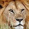 The essence of survival. Lion