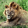 Lion, covered with flies after a fresh kill
