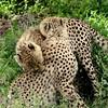 Cheeta play fighting