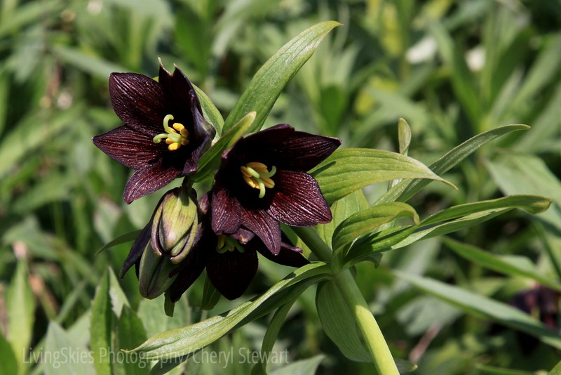 Chocolate lily - Alaska