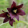 Chocolate Lily, these brown beauties grow wild in Alaska