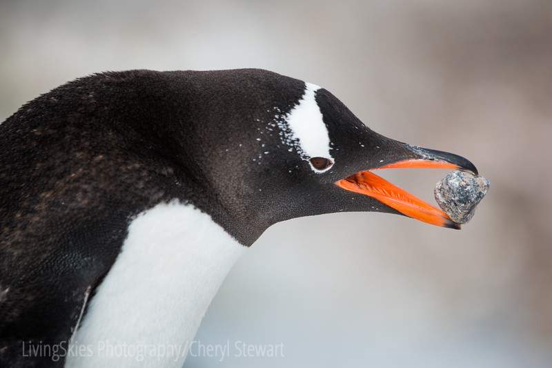 Gentoo Penguin rock collecting