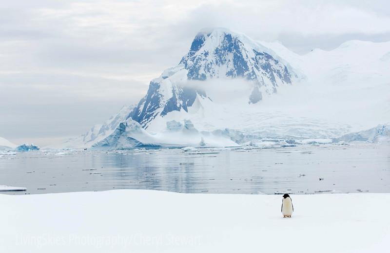 Lone Penguin Oceanside
