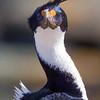 Blue eyed Cormorant