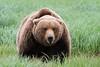 """""""ready or not, here I come""""         Coastal Bears Katmai Alaska"""