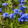 Blue Mountain flowers - Gentian