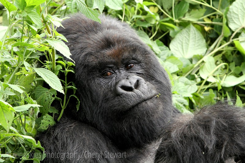 Silverback, Virunga Mountain Gorillas, this powerful male quietly lunched on thistle leaves, all the while watching us with those amazing eyes