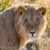 Young Male lion, backlit