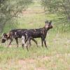 African Wild Dog pair
