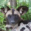 African Wild Dog, flies on the eyeball
