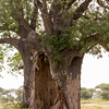 Baobab Tree, hollowed