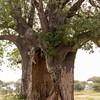 Baobab Tree, hollowed