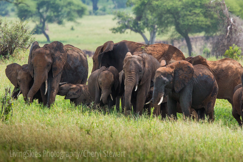 Elephant herd in red dust