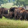 Elephant herd in red dust