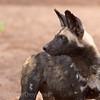 African Wild Dog, alert