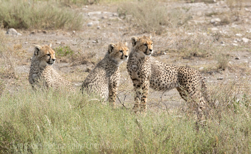 young Cheeta watch their mother hunt