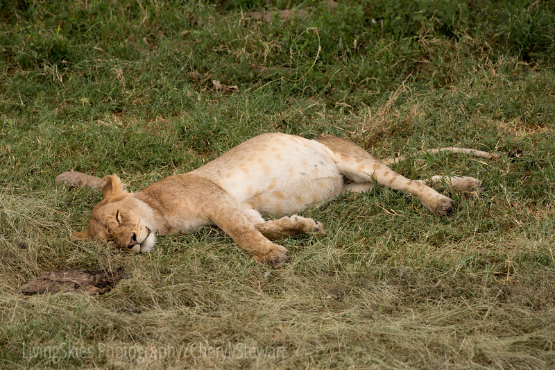 Full belly lioness