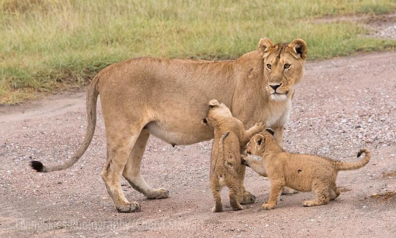 nursing lioness & cubs
