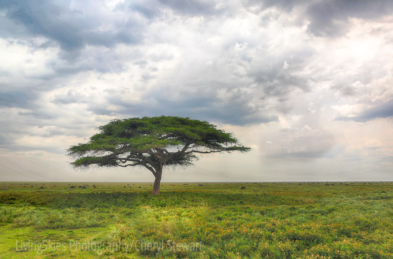 Acacia with clouds