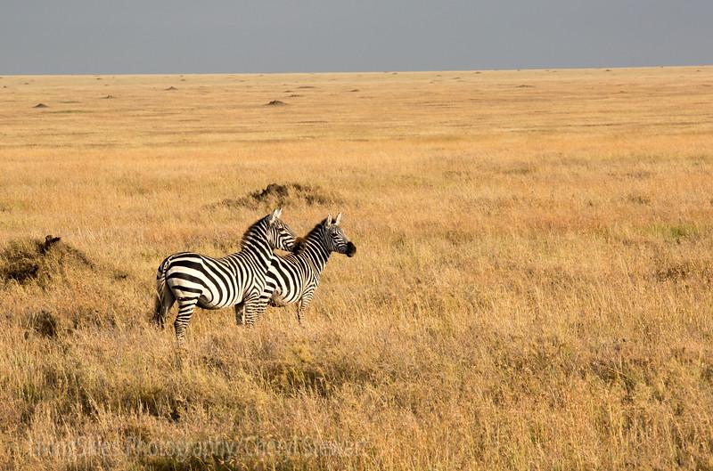 Zebra pair on the plains
