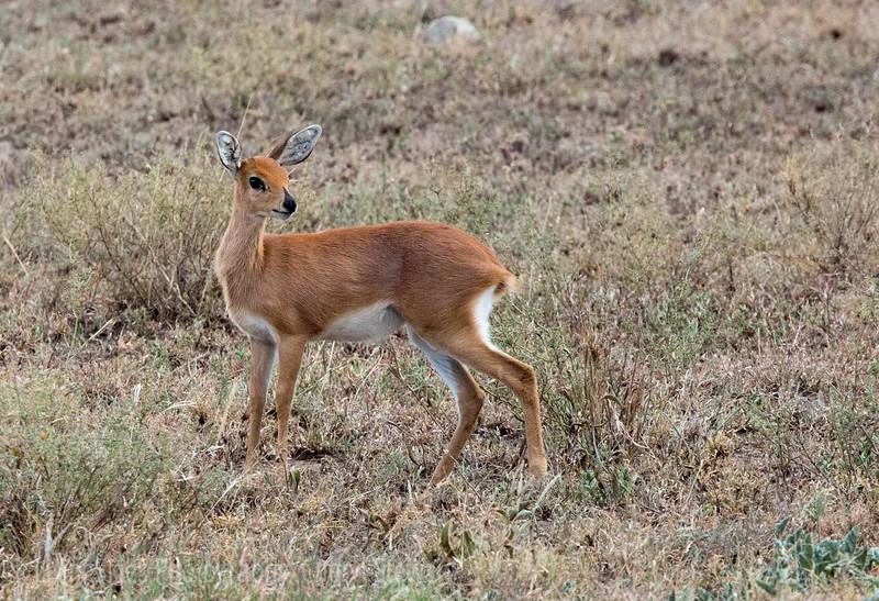 Steinbok Antelope