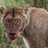 bloody faced Lioness