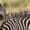 Zebra with Weaver Birds