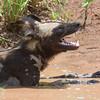 African Wild Dog, yawning
