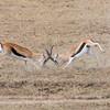Gazelle fighting