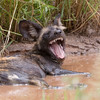 African Wild Dog, open mouthed