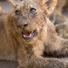Lion cubs, beside our vehicle