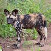 African Wild Dog, great patterns