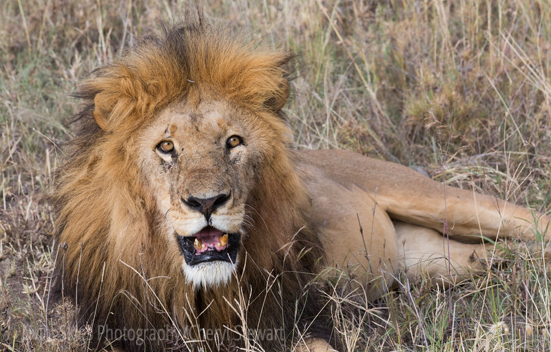 Male lion, mouth open