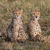 Cheeta & cub with full bellies