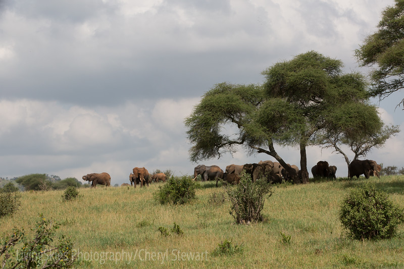 Elephant herd of 150 or so, on the move