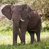 Elephant, startled