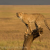 Young Cheeta