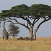 Elephant under the Acacia